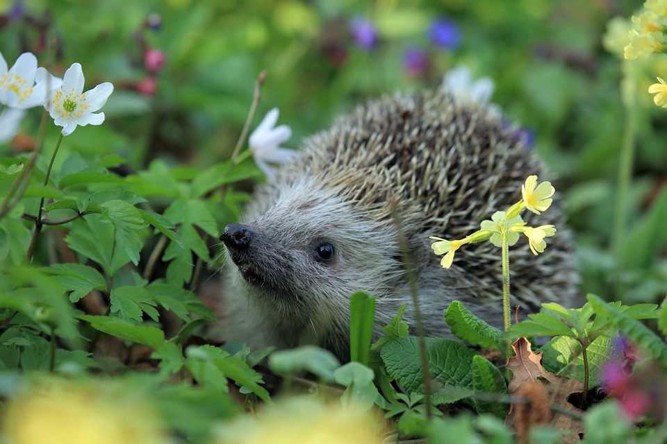 hedgehog-548335_960_720