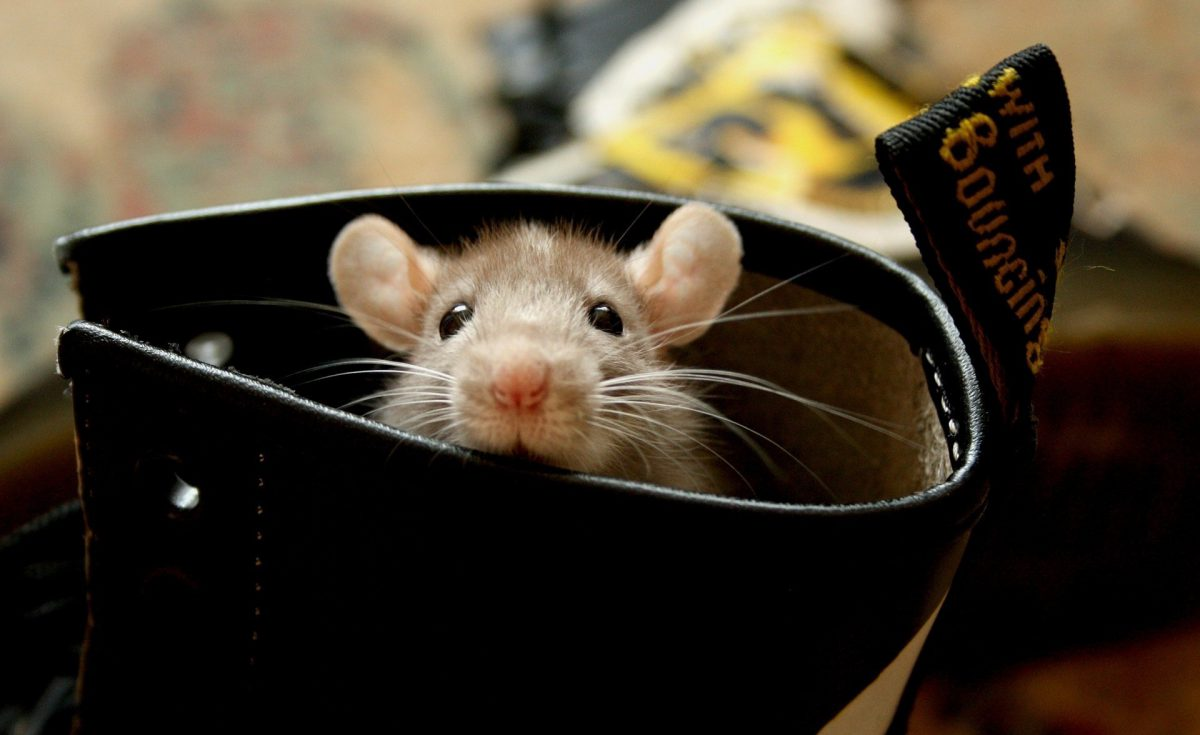rodents-peek-boo-animal-photography-rodent-furry-mouse-cute-pictures